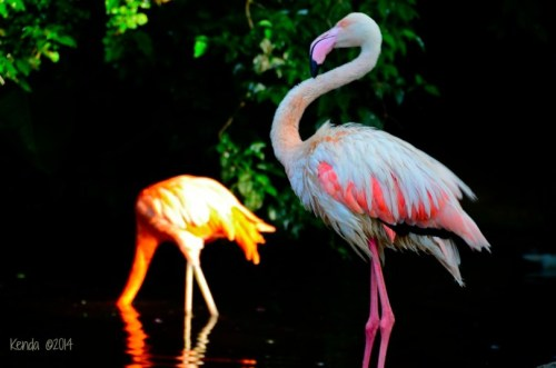 Greater Flamingo - Africa, Caribbean, SW Europe, Asia