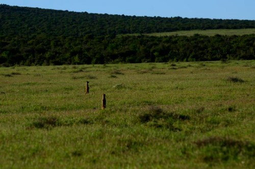Yellow Mongoose or Red Meerkat