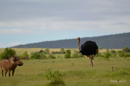Warthog and Ostrich