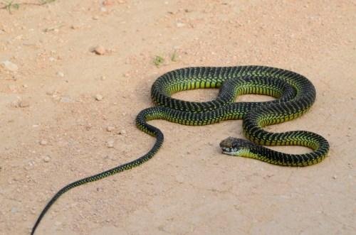Bloomslang Snake