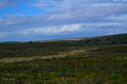Swaths of Fynbos and herds of Red Hartebeest and Bontebok