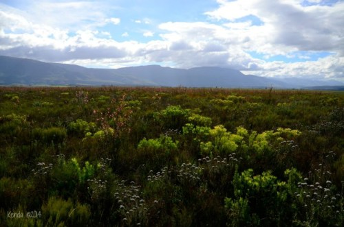 Stunning Fynbos of the Western Cape