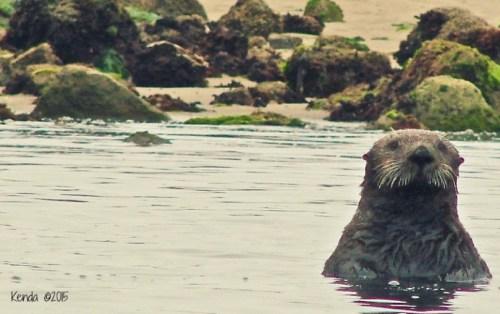 Otter Moss Landing