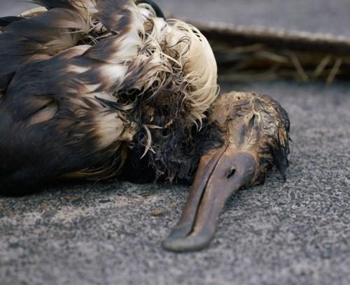dead baby albatross