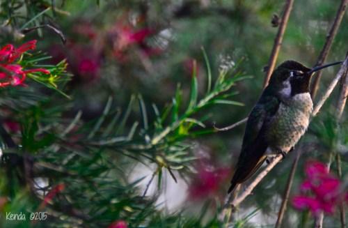 Costa's Hummingbird_Mating ritual