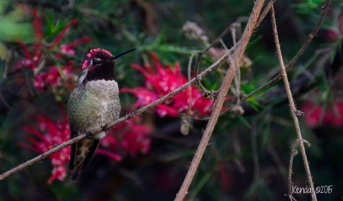 Anna's Hummingbird_Male