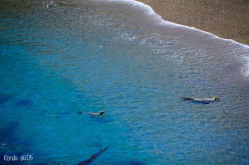 Sea Lion_Point Lobos