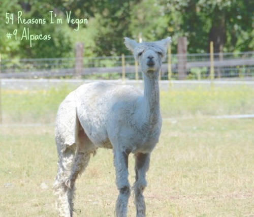 I think this is Bella from S1 - she and her herd are looking for a good home