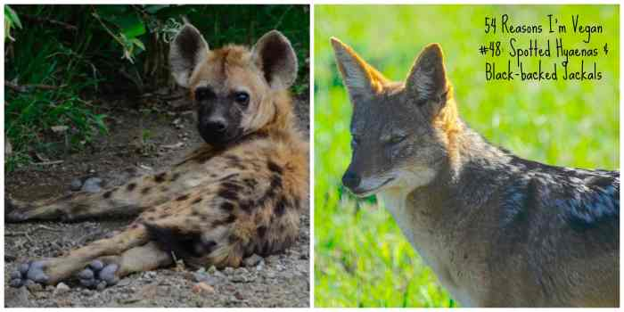 48_hyaenas-and-black-baked-jackals
