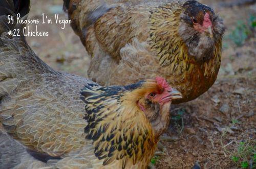 54-reaons-im-vegan_22-chickens
