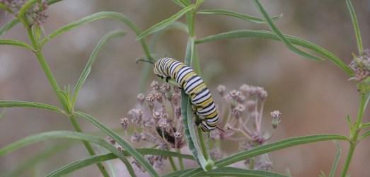 How to Help Monarch Butterflies: Got Milkweed?
