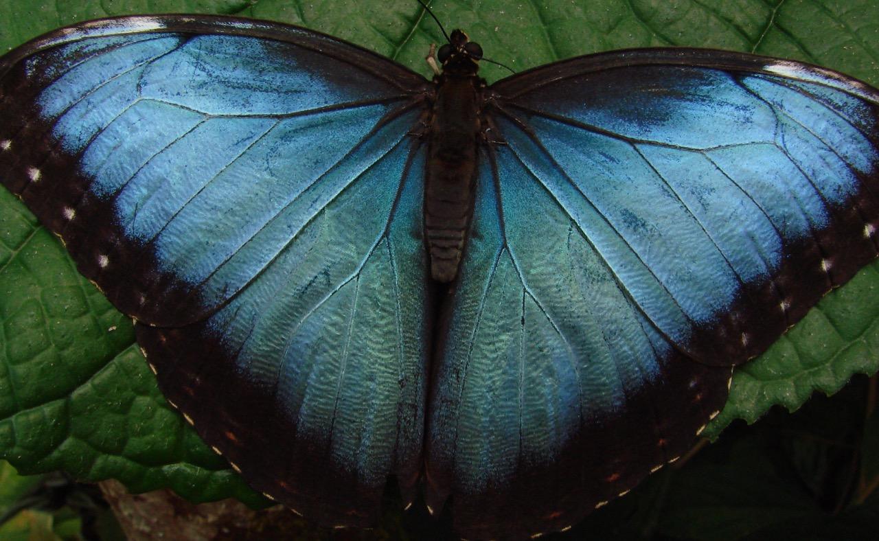 Blue Morpho, Costa Rica