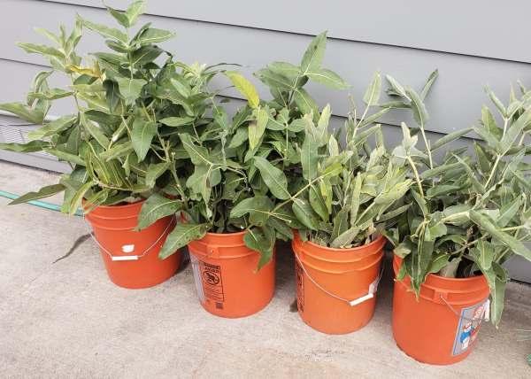 A. speciosa, Showy milkweed