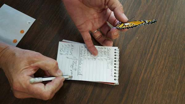 Monarch tagging and field notes