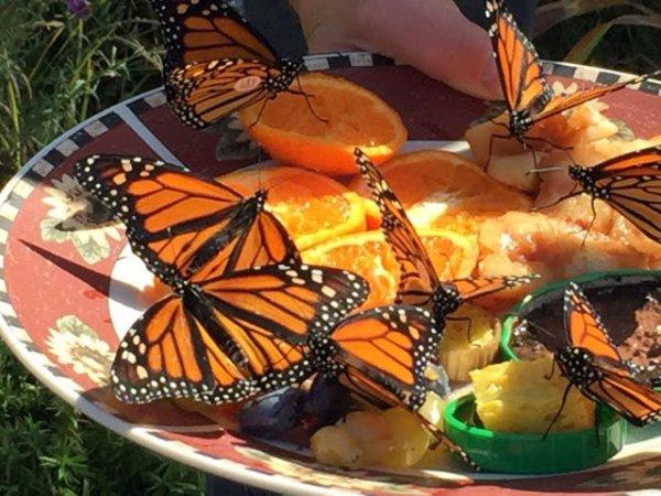 Adult monarchs nectaring