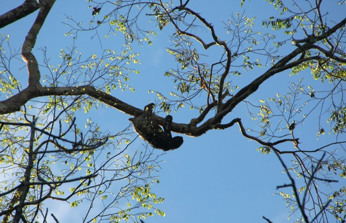 sloth Peruvian Amazon. How to get to Iquitos