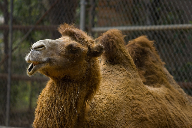 camel egypt scams