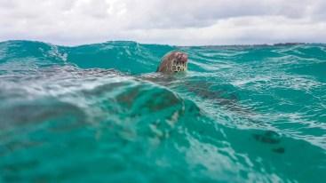 Schildkröten Schwimmen Akumal Beach