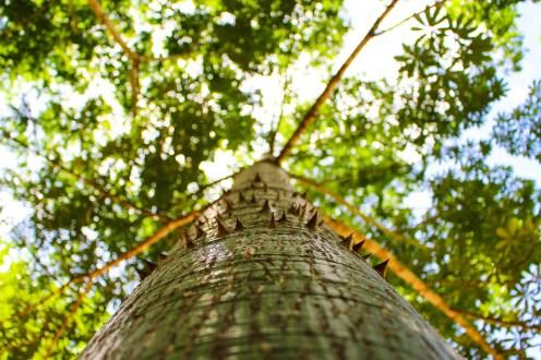 Kapokbaum Ceiba Tree Heiliger Baum der Maya