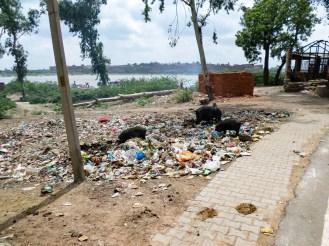 Schweine im Abfall Agra Indien