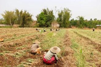 Knoblauch ernten Myanmar