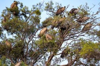 Geier Baum Masai Mara