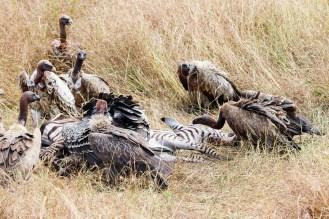 Geier fressen Zebra