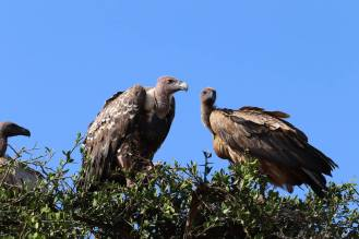 Geier Massai Mara