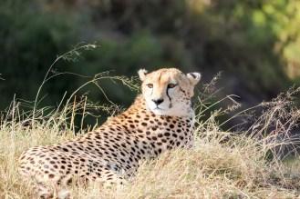 Gepard Kenia