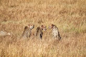 Geparden Masai Mara Safari