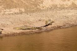 Krokodile Mara River Kenia