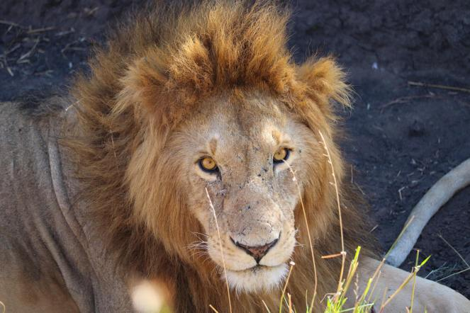 Löwe Masai Mara