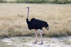Strauß Masai Mara
