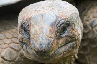 Riesenschildkröte Prison Island