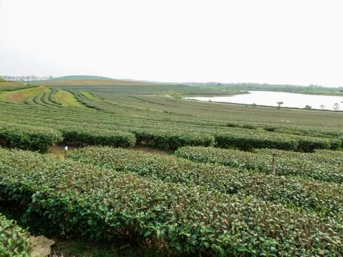 Teeplantagen Chiang Rai
