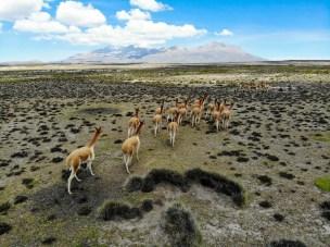 Vicuñas auf Patapampa in Peru