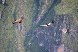 Kondore segeln durch die Luft