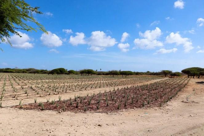 Aloe Vera Plantage Aruba