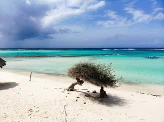 Divi-Divi Baum auf Baby Beach Aruba
