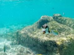 Perlen-Kofferfisch Aruba