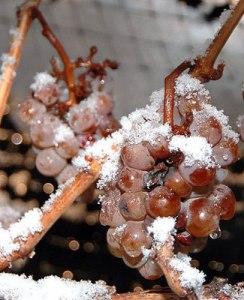 Ice Wine - Frozen Grapes