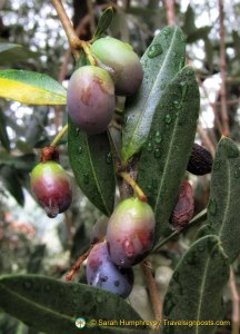 Olives on the tree waiting to be picked!