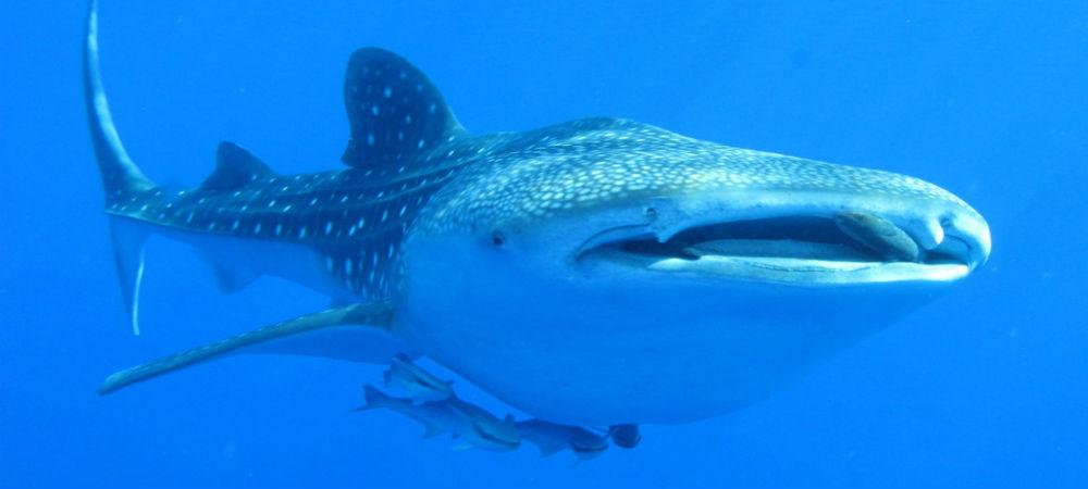 WhaleShark Swimming Cancun TravelSmart VIP 2