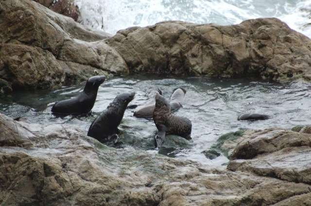 Seal Colony, Ohau, Kaikoura, New Zealand