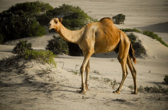 Camel Walking