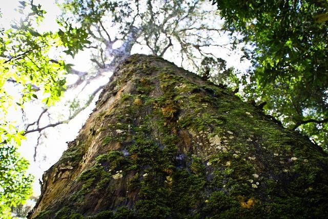 Tsitsikamma Big Tree