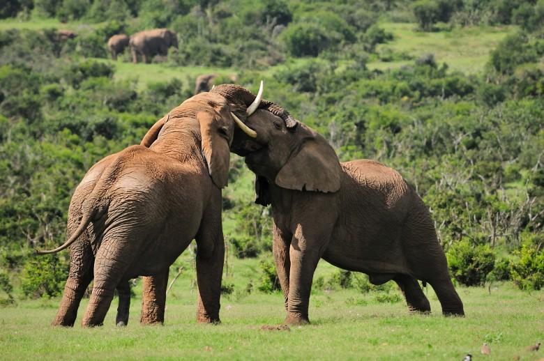 Addo Elephants - Nomad Tours