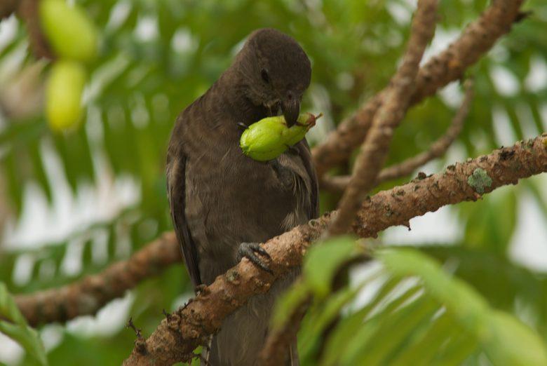 7 Black parrot seychelles tourism board