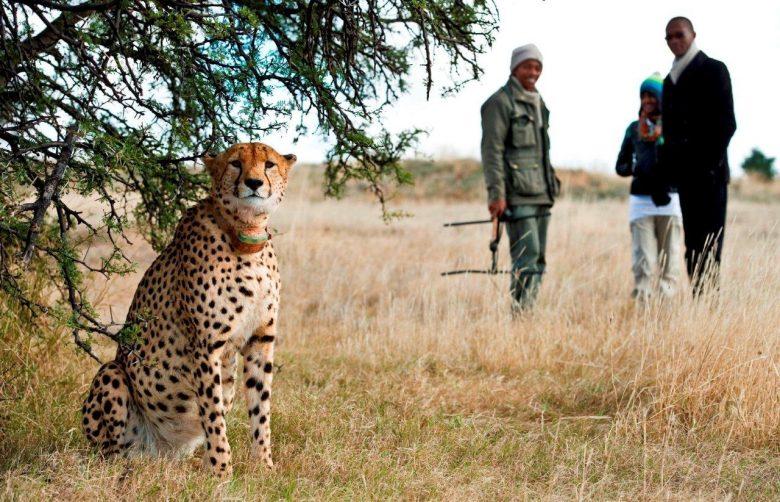 cheetahtracking