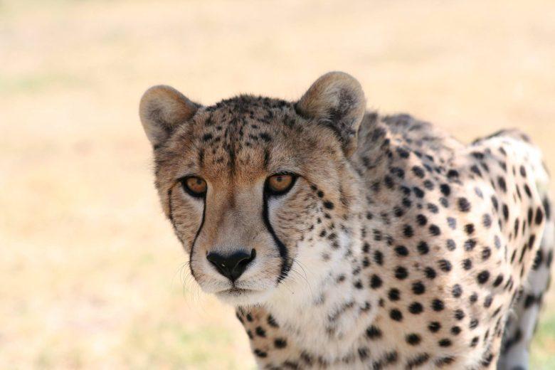 cheetah sanctuary somerset west